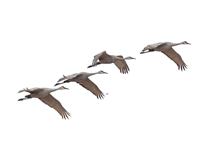 Sandhill cranes fly across a white background.