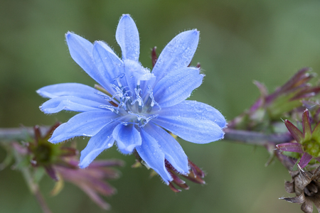 The petals of a chicory flower explode in shades of blue.