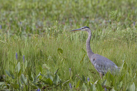 In the mist of the green wetland grasses and purple pickleweed, a great blue heron stands at attention. Stock Photo