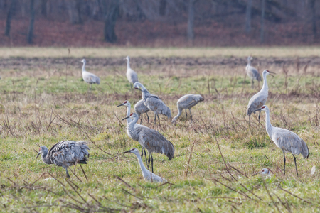 Multiple sandhill cranes, gather in a field of grass in search of food. Stock Photo