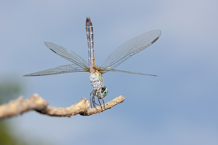 A blue dasher dragonfly does a handstand on a branch.  Positioned vertically, the insect uses its wingx to balance on a branch in a blue sky. 版權商用圖片