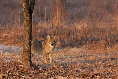 An einem Wintertag starrt ein Kojote in seinem Blickfeld auf einen Eindringling. Ohren hoch, Augen weit aufgerissen, der Kojote lässt sich nicht einschüchtern.