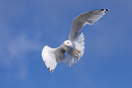 A ring-billed gull folds and curves its wings to ride the wind currents in the blue sky.