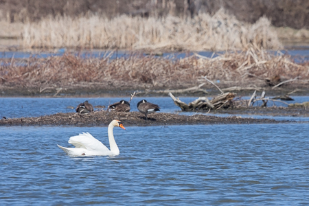 In the Dupage River, a mute swan drifts past three sleeping geese. The swan, wings raised like a sail, quietly floats in the rippled waters. Stock Photo