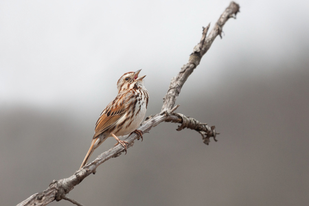 A song sparrow opens it beak to sing a song in the thicket of a prairie.