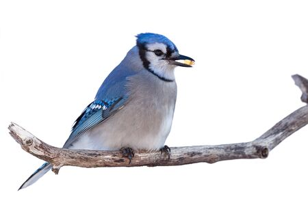Bluejay perched on branch with a niblet of corn in its beak. White background.