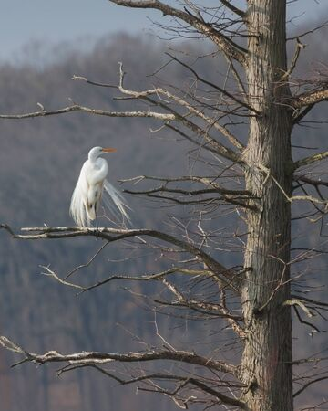 Perched high in a barren tree, white plumes dancing in the wind and a yellow beak glowing in the sun, a great egret could be mistaken for an angel. Zdjęcie Seryjne