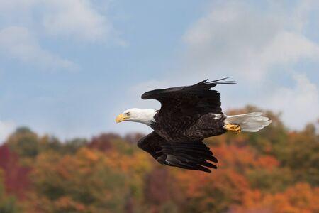 In maximum aerodynamic form, a bald eagle darts across an colorful autumn skyline.