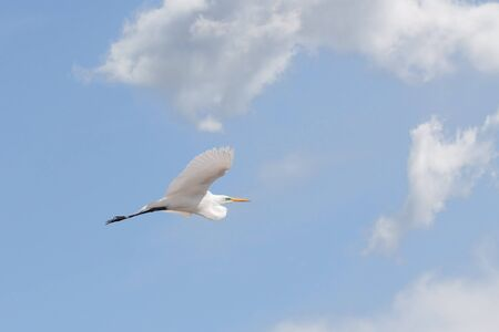 A great egret extends its wings as it rises to the clouds in a powder blue sky.