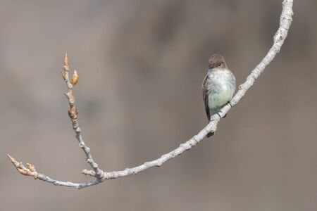 An eastern phoebe proudly displays it faint yellow breastplate while looking down the branch of an eastern cottowood tree.
