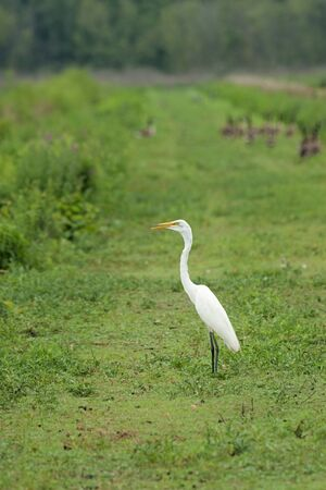 A great egret stands still on a green levee while several geese run away. Banco de Imagens