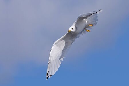 Positioned for attack in the sky, a stealth ring-billed gull aims itself at its quarry below. Banque d'images