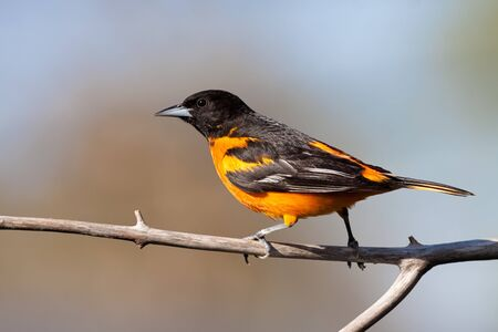 Profile of a Baltimore Oriole walking across a barren branch. Blue sky and blurred tree are the background.