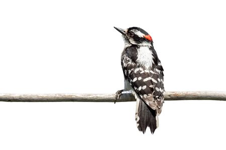 A backside view of a downy woodpecker as it clutches onto a branch. The red patch on its head glows against the barred white and black stripes of its back.
