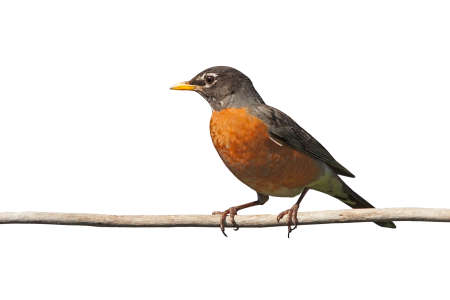 Profile of a robin perched on a branch. Its bright orange is prominently displayed on a white background Фото со стока