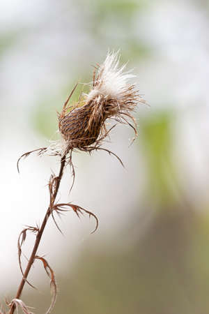 A lone seeding thistle leans sideways in an open prairie. It's seeds emerge from the top ready to blow away in the wind. Imagens