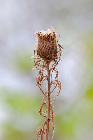 A seeding thistle stands upright  in an open prairie with a fly climbing up one of this thorny spikes. Imagens