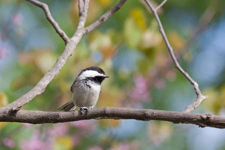Chickadee in a colorful springtime forest perched on a branch. Background consists of shallow focus of sky blue, pink and white blooms of a redbud tree and green leaves. 免版税图像