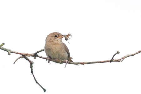 A house wren holds a spider in its beak while perched on a branch. White background Zdjęcie Seryjne