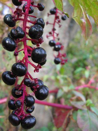 Close-up shot of black berries on a purple vine Imagens
