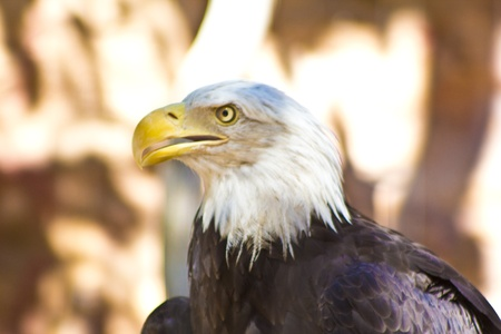 Bald Eagle Side View Stock Photo - 13184706