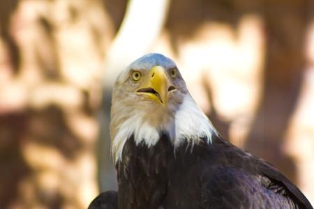 Bald Eagle Looking Forward