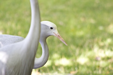 south african: South African Crane