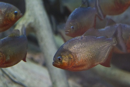 pacu: Red Belly Pacu