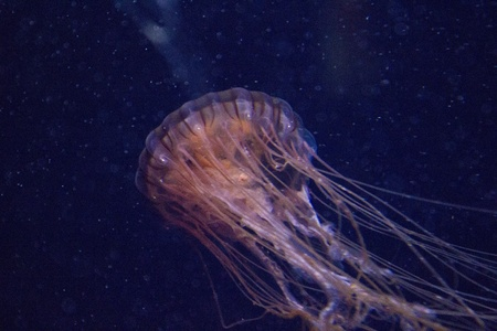 stingers: Jellyfish