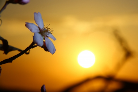 white apricot blossom when sun going down  photo