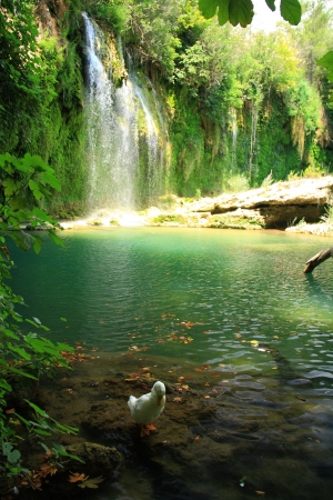 tourquoise: duck playing in stream of kursunlu waterfall in turkey