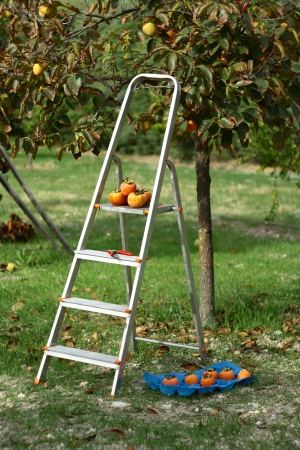 persimmons: picking persimmons from tree with stairs