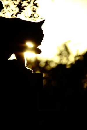 claen: cat cleaning itself at sunset with its tongue