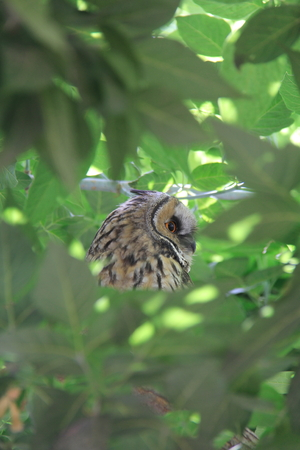 bewildered: bewildered owl looking on tree