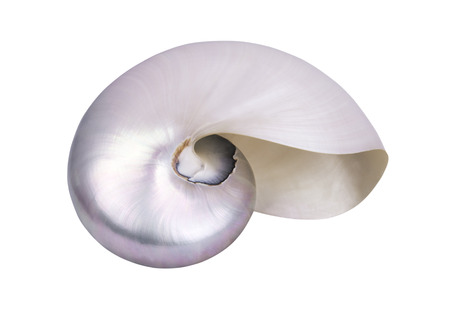 thin shell: large mother of pearl shell on white background