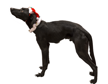 sombrero: dog Santa black with white background Foto de archivo