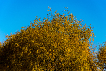 tree with its wonderful golden colors in the autumn season Stock fotó