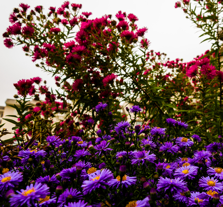 Purple and pink daisies in the garden in front of building