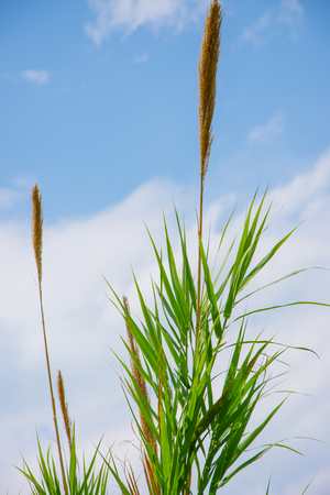 The top of the cane with the sky in background in summer Stock Photo