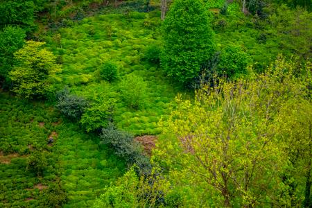 Plantation of the plant tea in Turkey near the Black sea