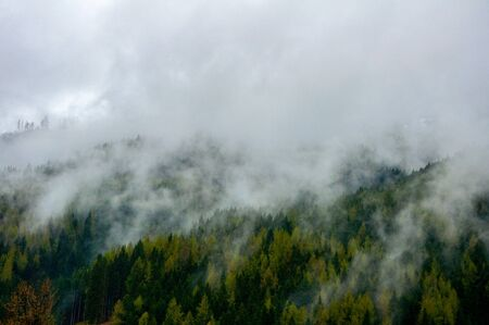 The foggy pine trees forest in the country Austria