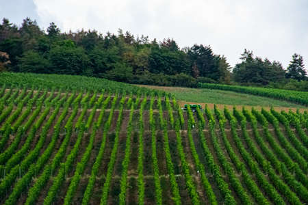 Beautiful landscape of the green vineyard without people