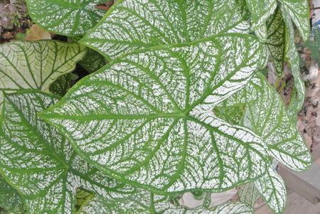 Green white leaves.