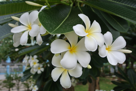White beautiful blossoming plumeria in the garden Banque d'images