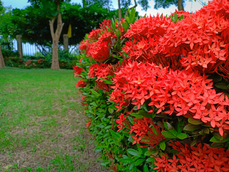 The red ixora. Banque d'images