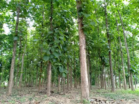 Teak tree planting in temple.