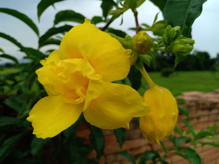 The yellow blossom flower.