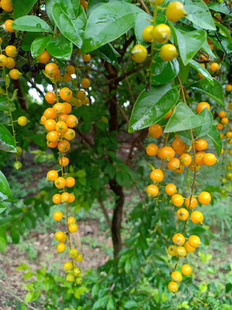 Fruits of Golden dew drop.