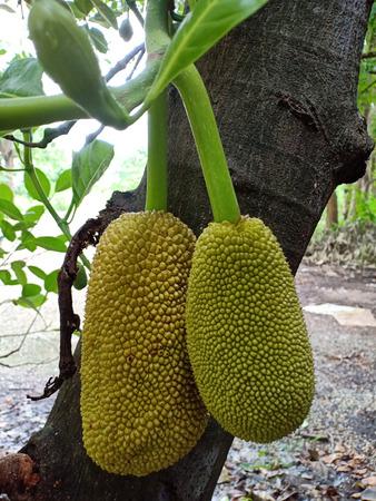 Young fruits of jackfruit.