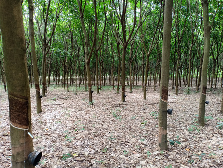 The rubber plantation.